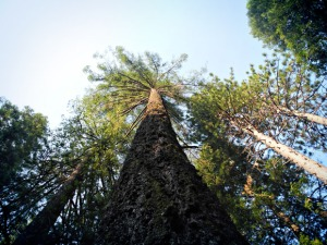 3_Crags-Tree_LookingUp