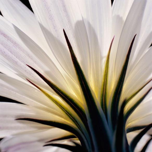 El Nino rains create abundant Desert Lily blossoms